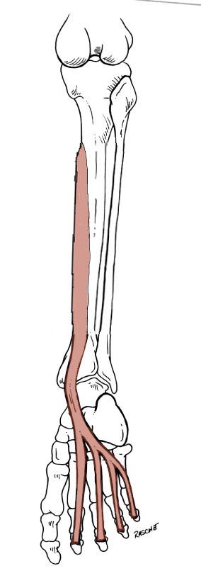 anatomy tables leg foot