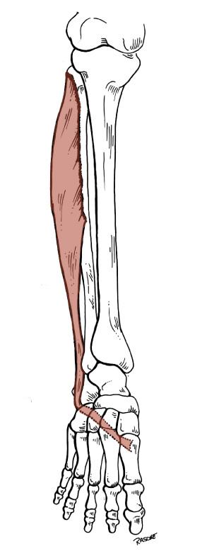 Anatomy Tables - Leg & Foot