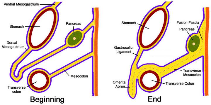 Module - Peritoneal Cavity Development